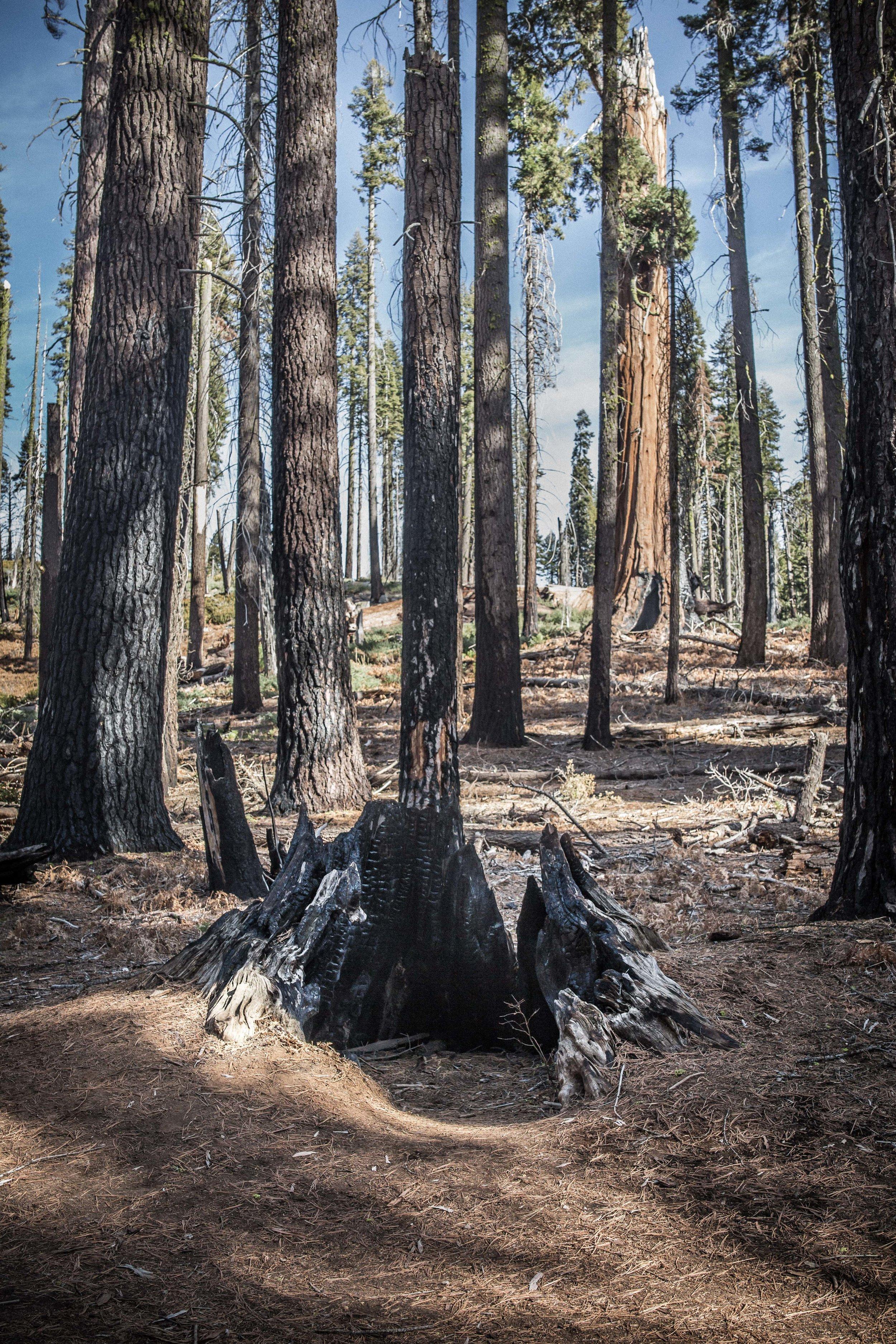demarcated sequoia-1.jpg