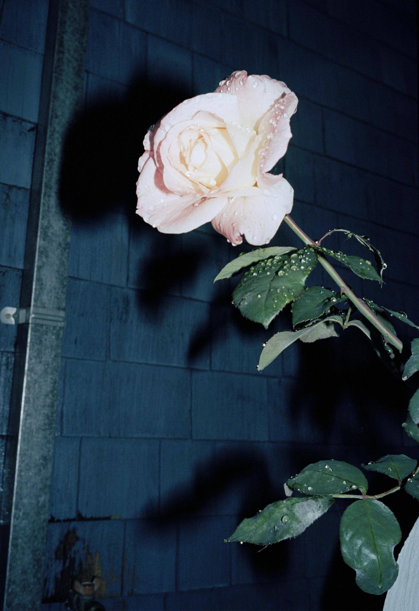 rose.jpg