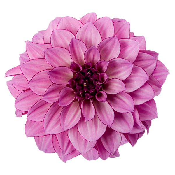 Dahlia-Free-Download-PNG.png