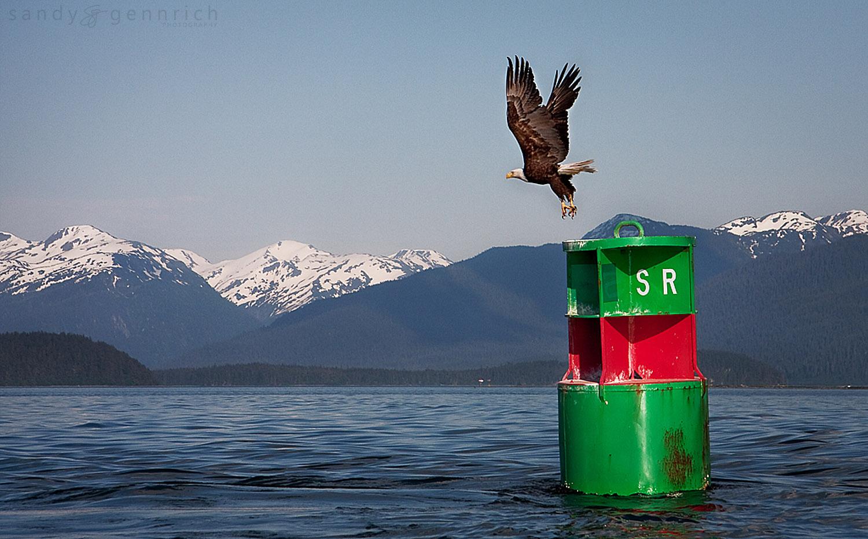 Bald Eagle - Juneau - Alaska