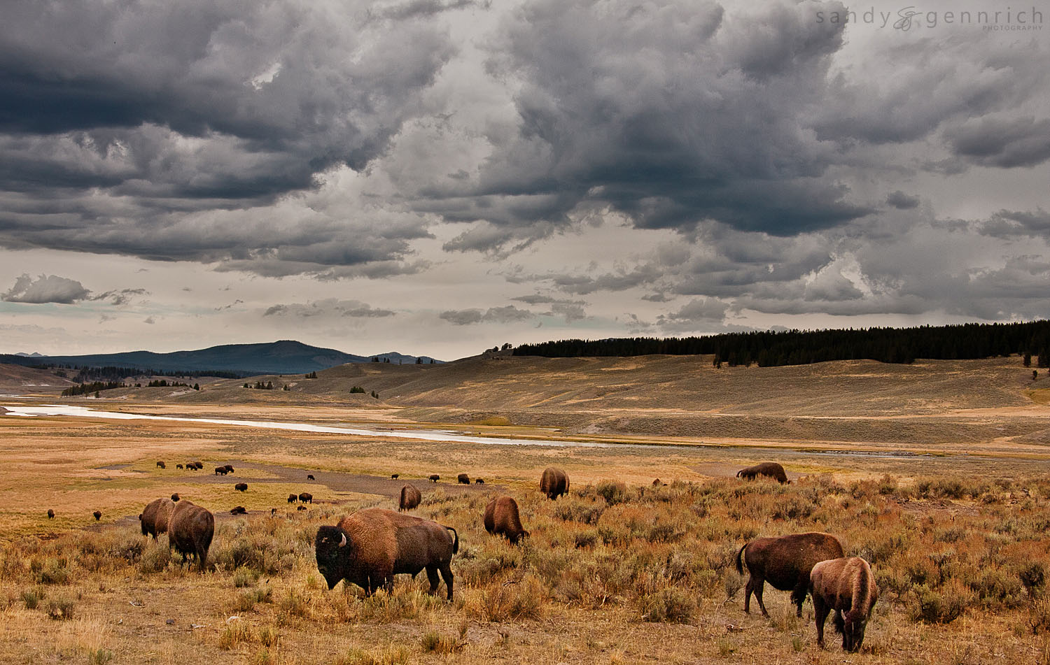 Home on the Range - Bison - Yellowstone National Park - WY