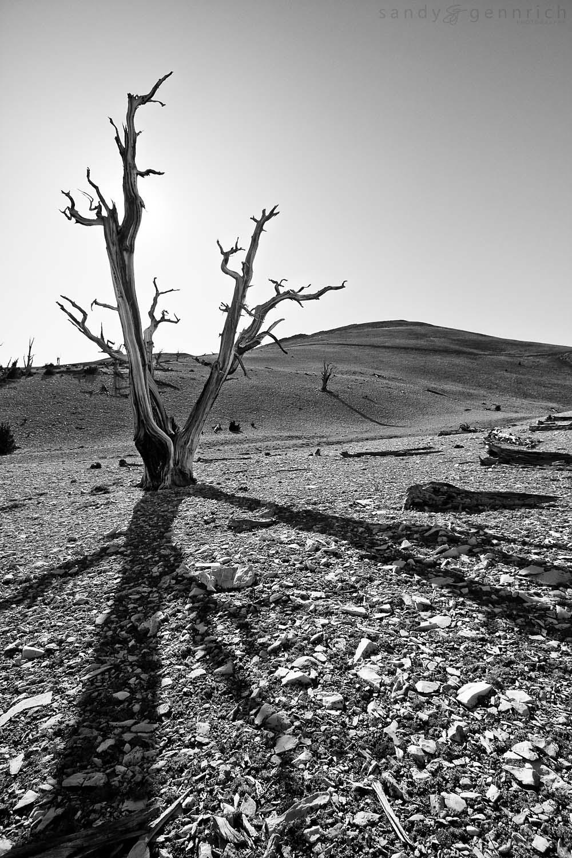 Bristlecone Shadows