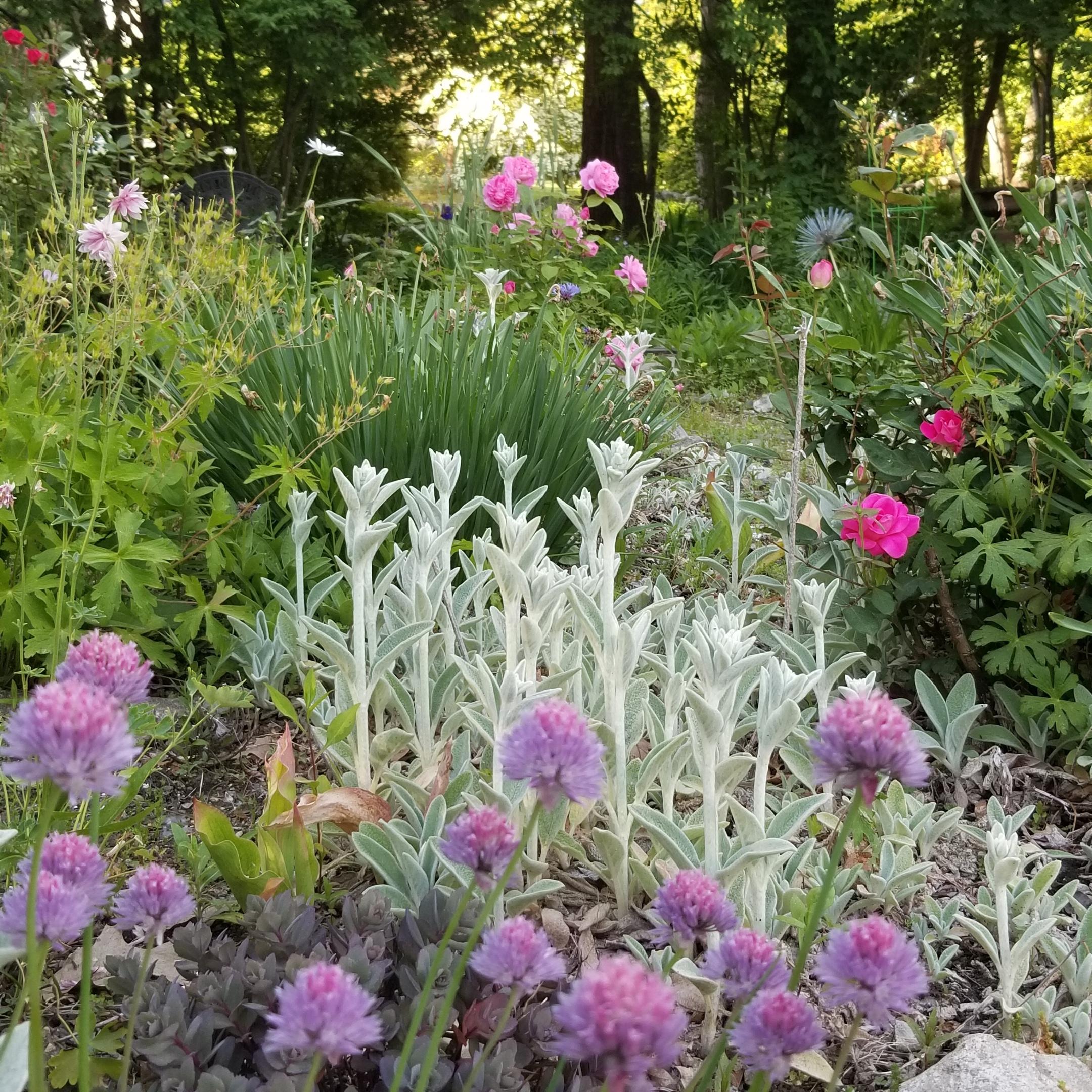 Springtime in the garden - Garlic chives, roses, lamb's ear, aquilegia, sedum. Maureen Christmas AIFD,CFD, EMC