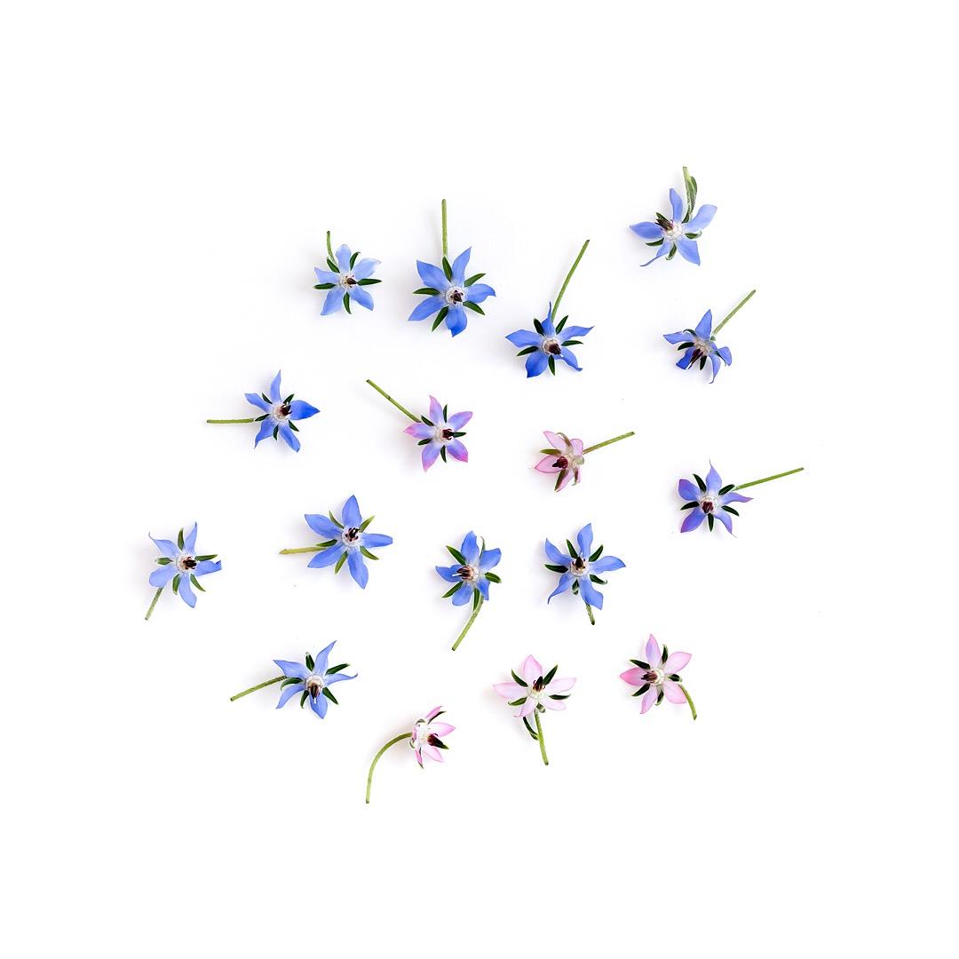 Borage flowers. Pretty, aren't they.