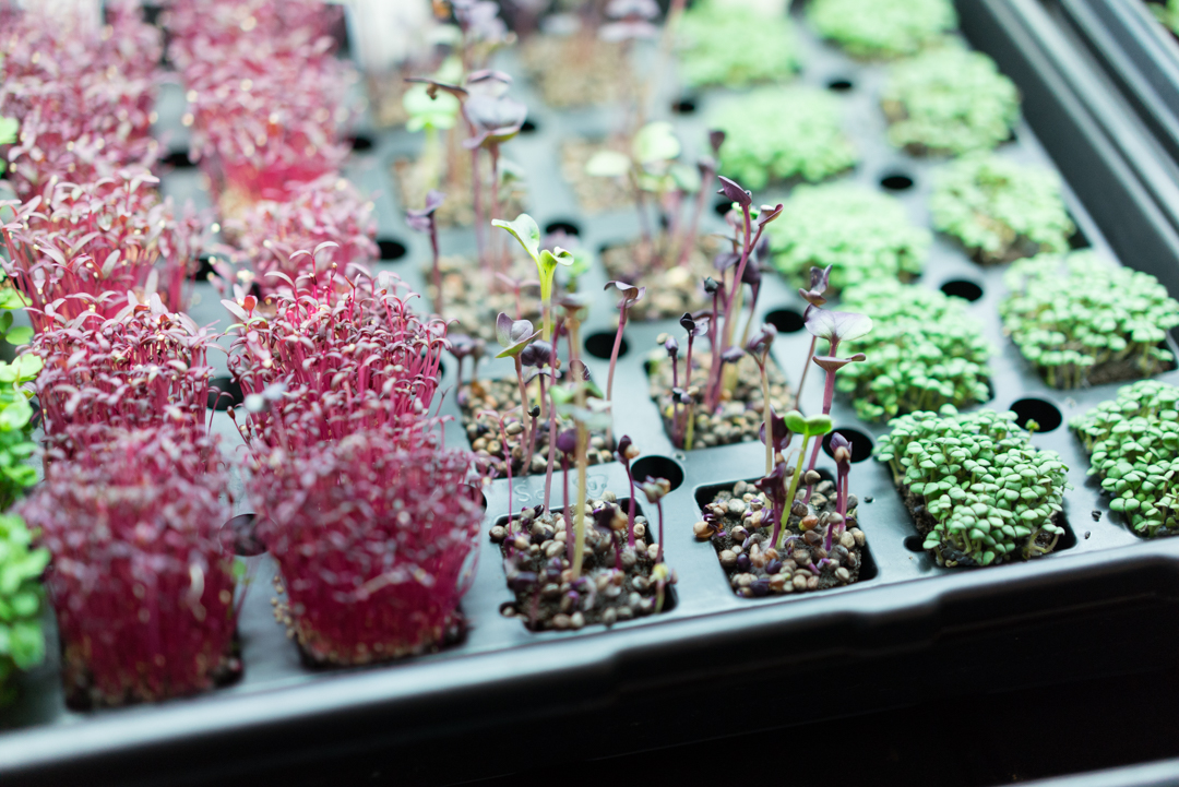 Many factors determine microgreen success but it starts with seeds and planting.