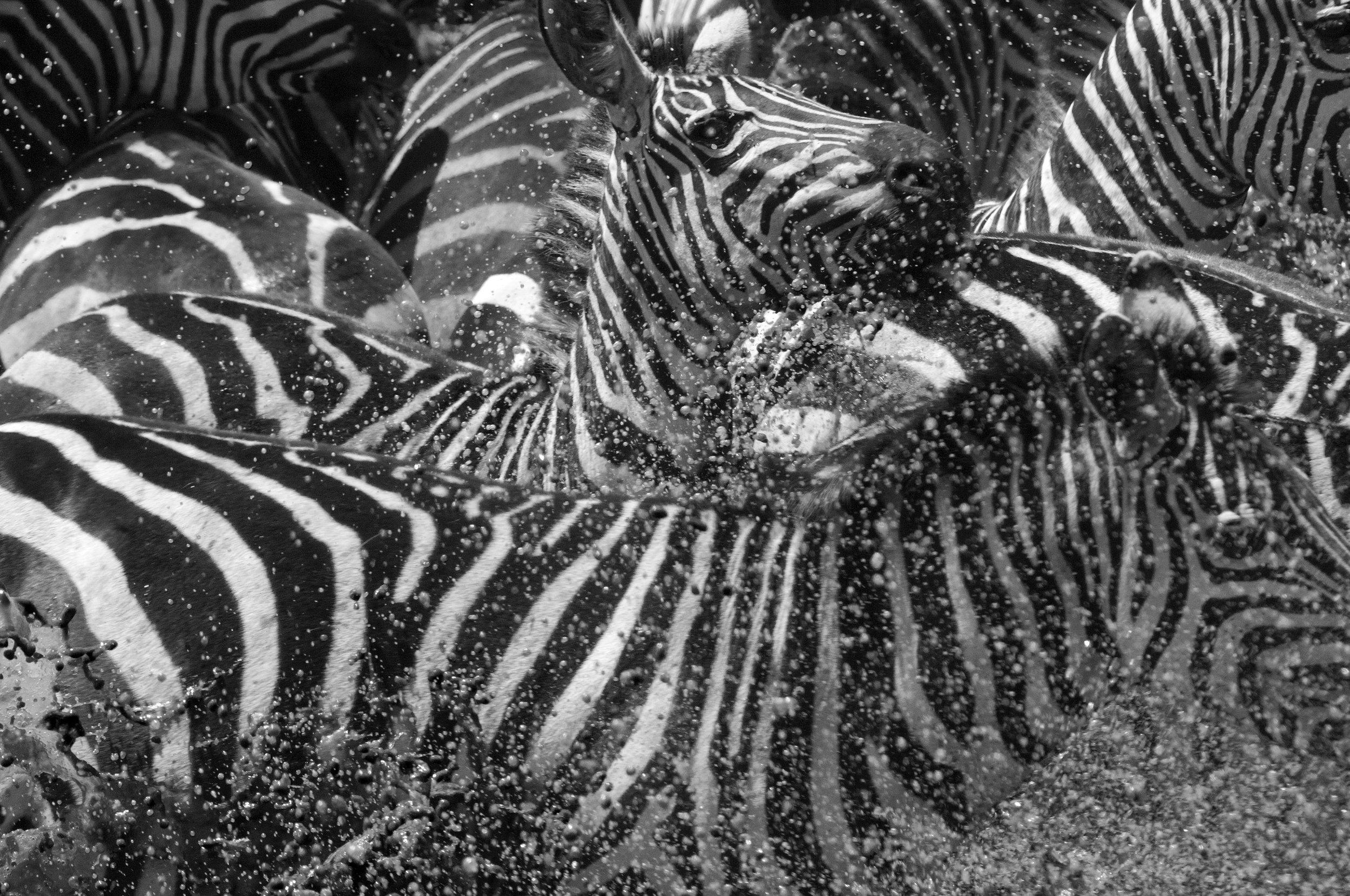 Zebra_b&W.jpg