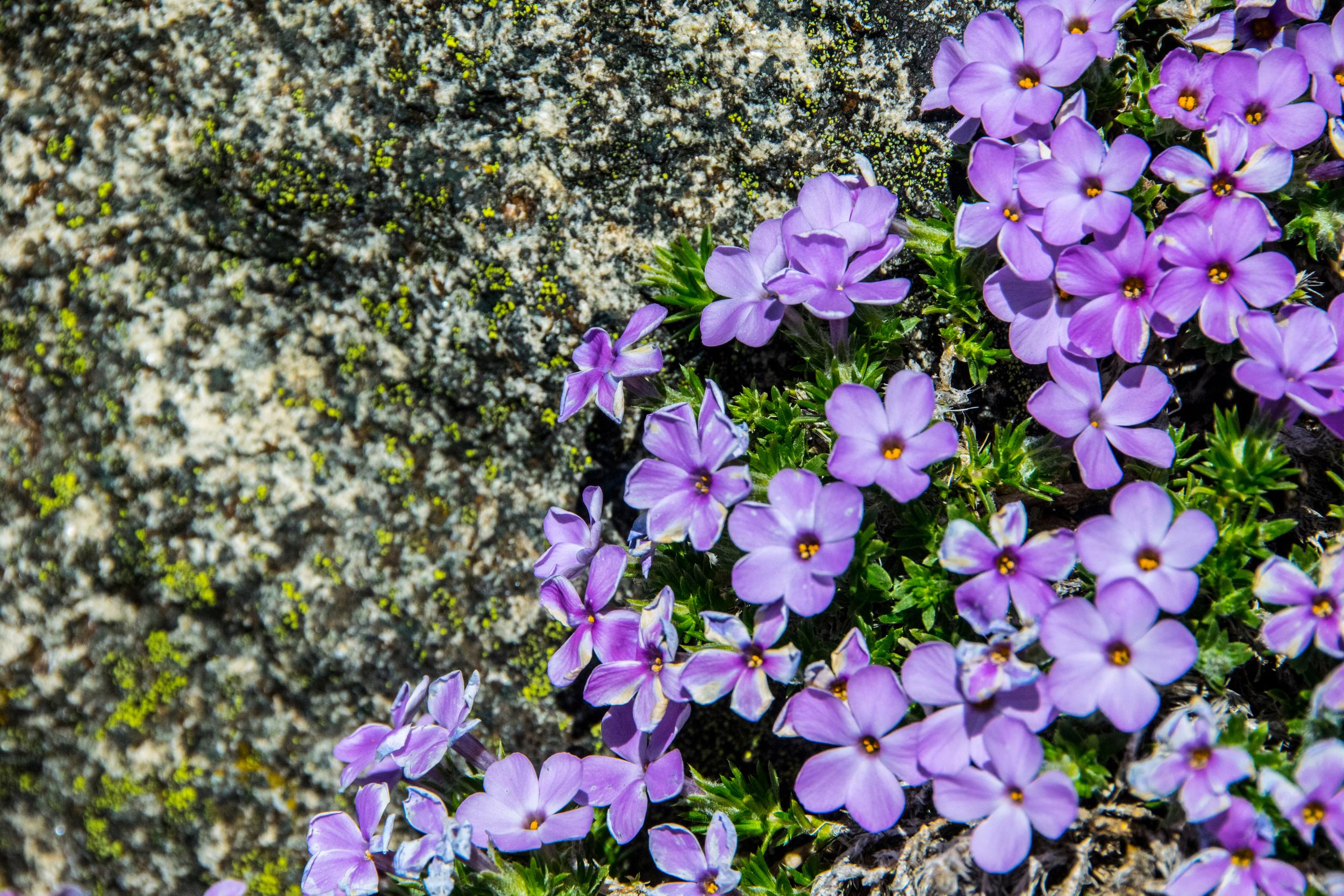 Wild flowers on Mary's Peak