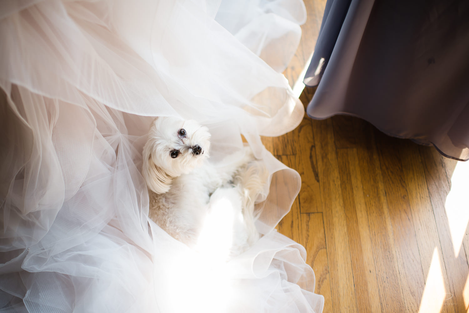 White Puppy at Greystone Mansion Wedding. Los Angeles and Orange County Engagement and Wedding Photographer.