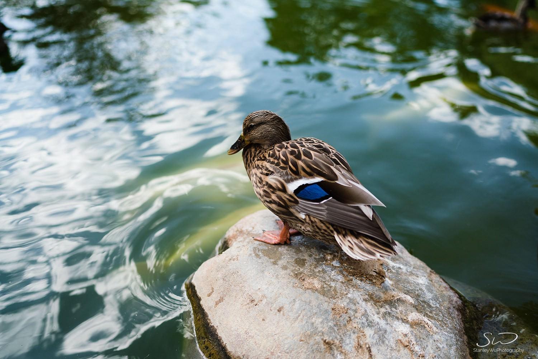 duck graduation portraits at csulb earl burns miller japanese garden