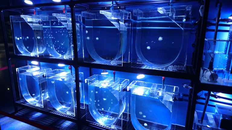 Jellyfish breeding tanks