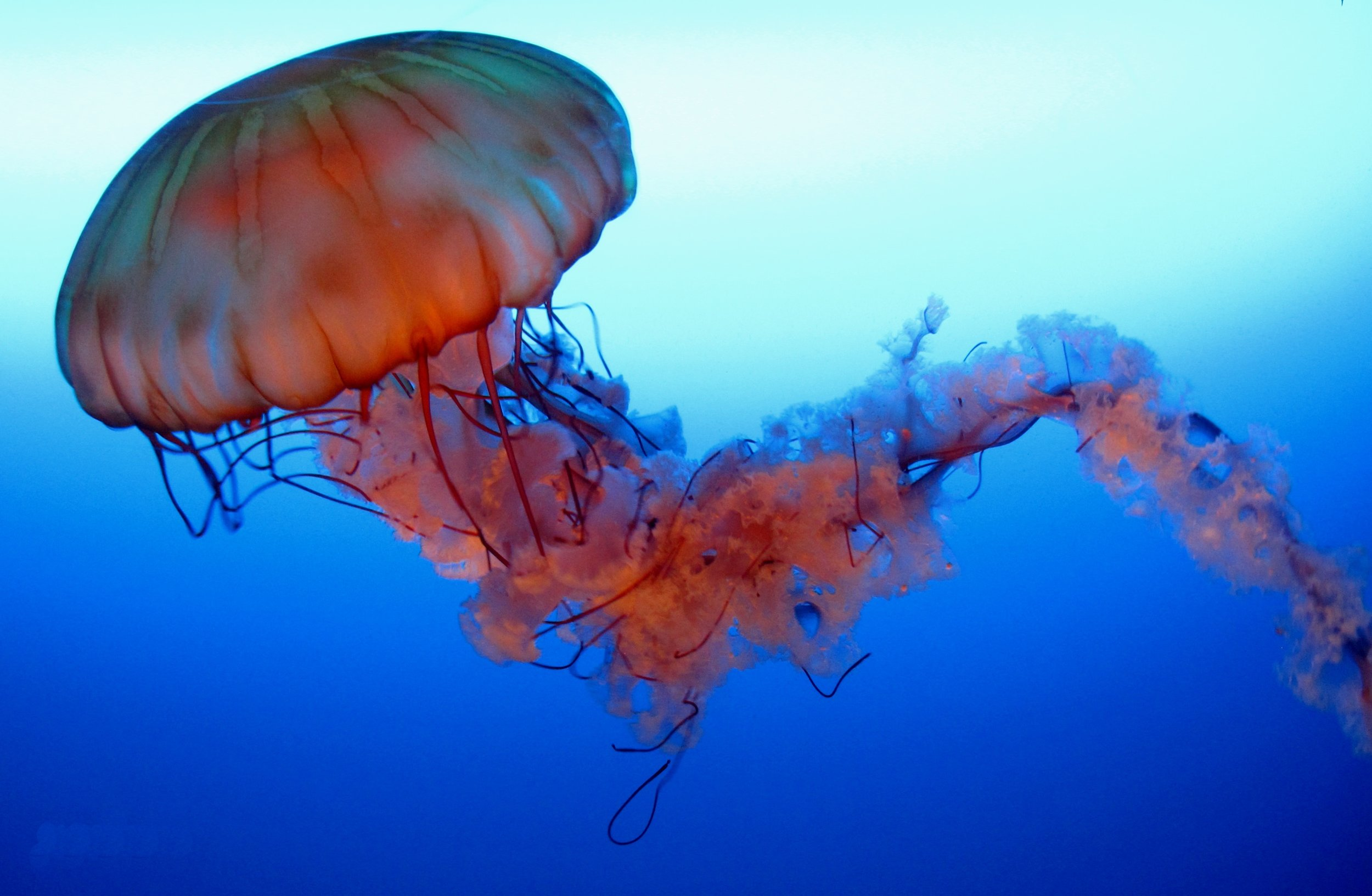 Pacific+Sea+Nettle+Jellyfish.jpg