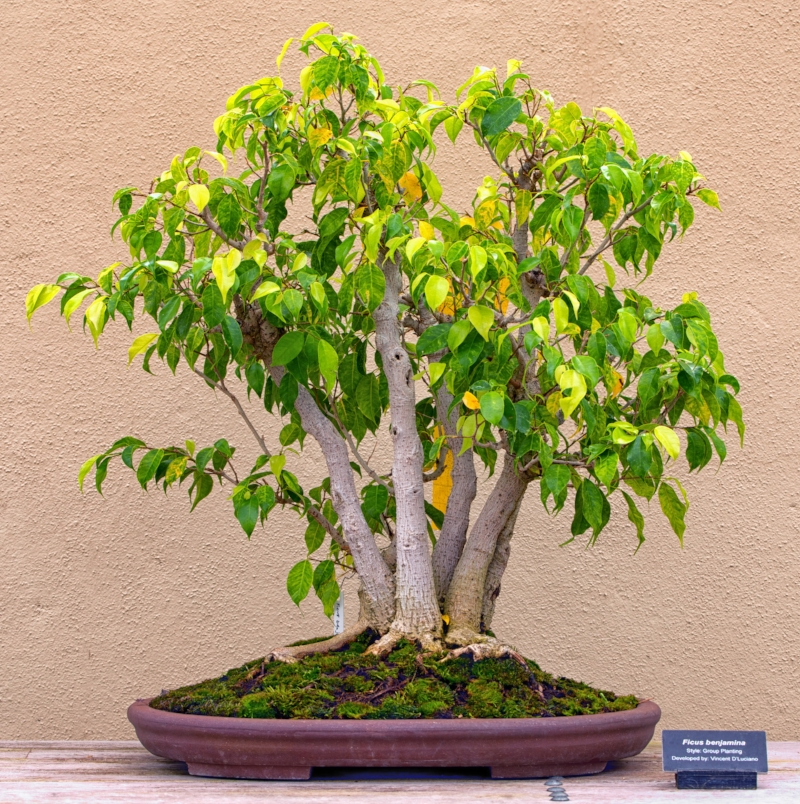 Bonsai Tree Brooklyn Botanical Garden
