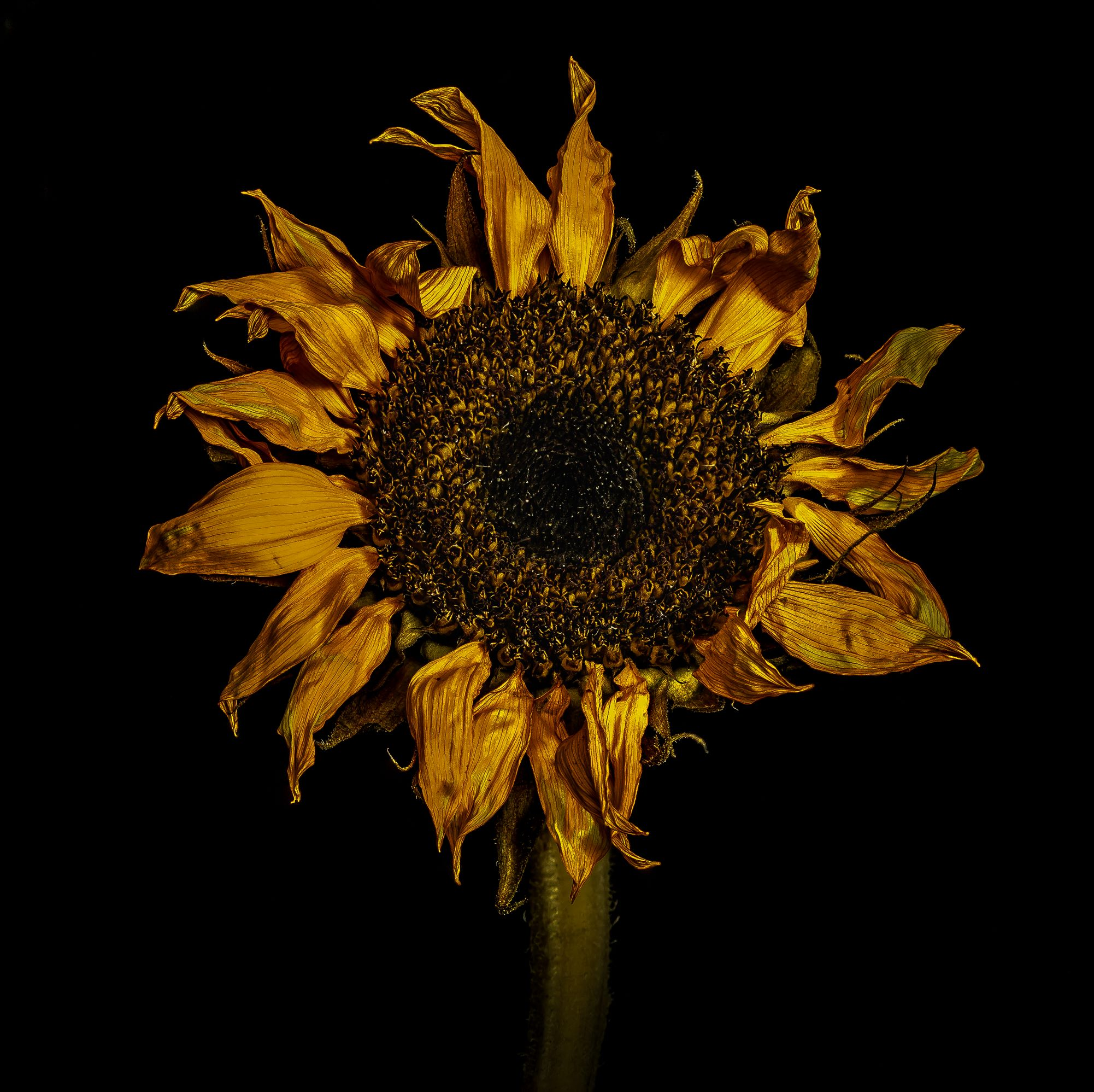 Crunchy Sunflower