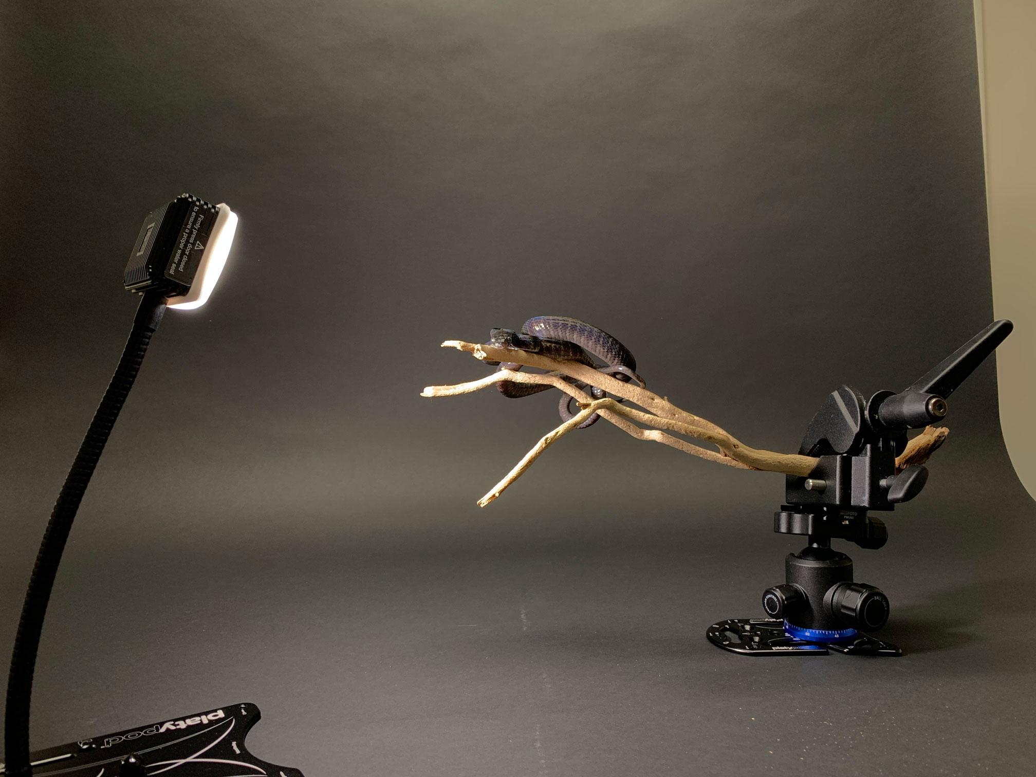 Macro reptile photography set up