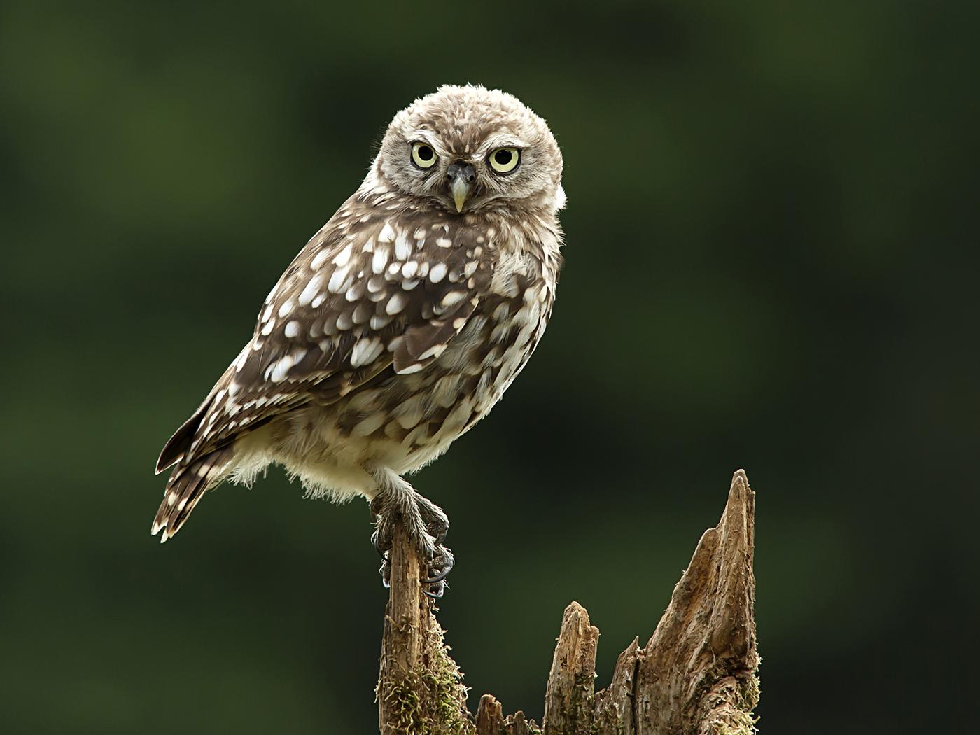 Juvenile Little Owl_Prashant-Meswani.jpg