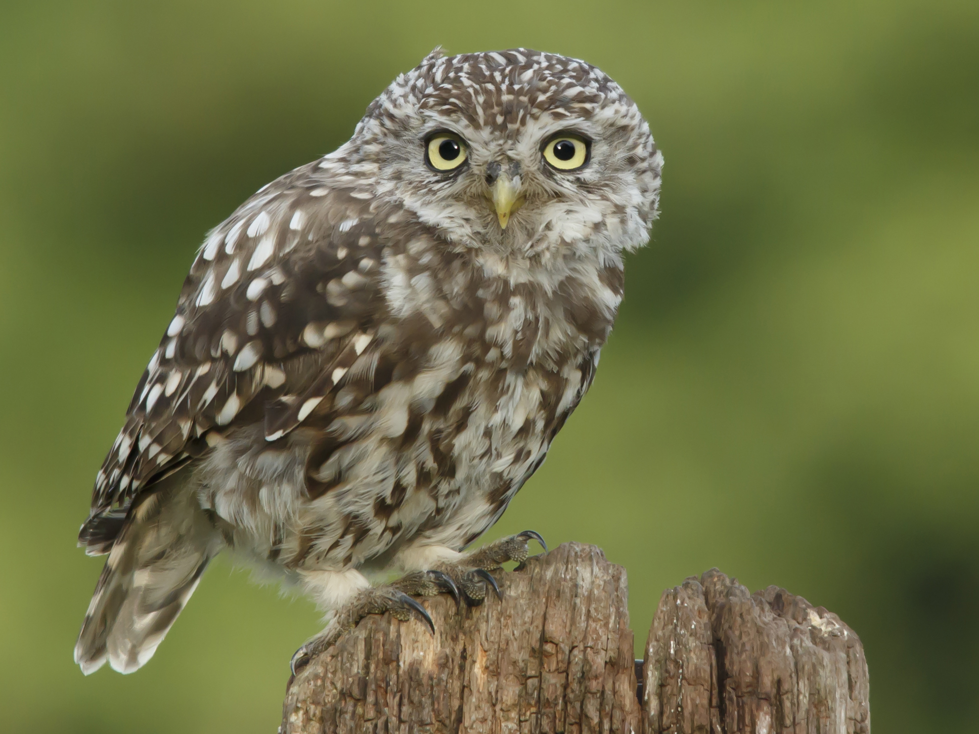 The-Cute-Juvenile-Owl-Look_Prashant-Meswani.jpg