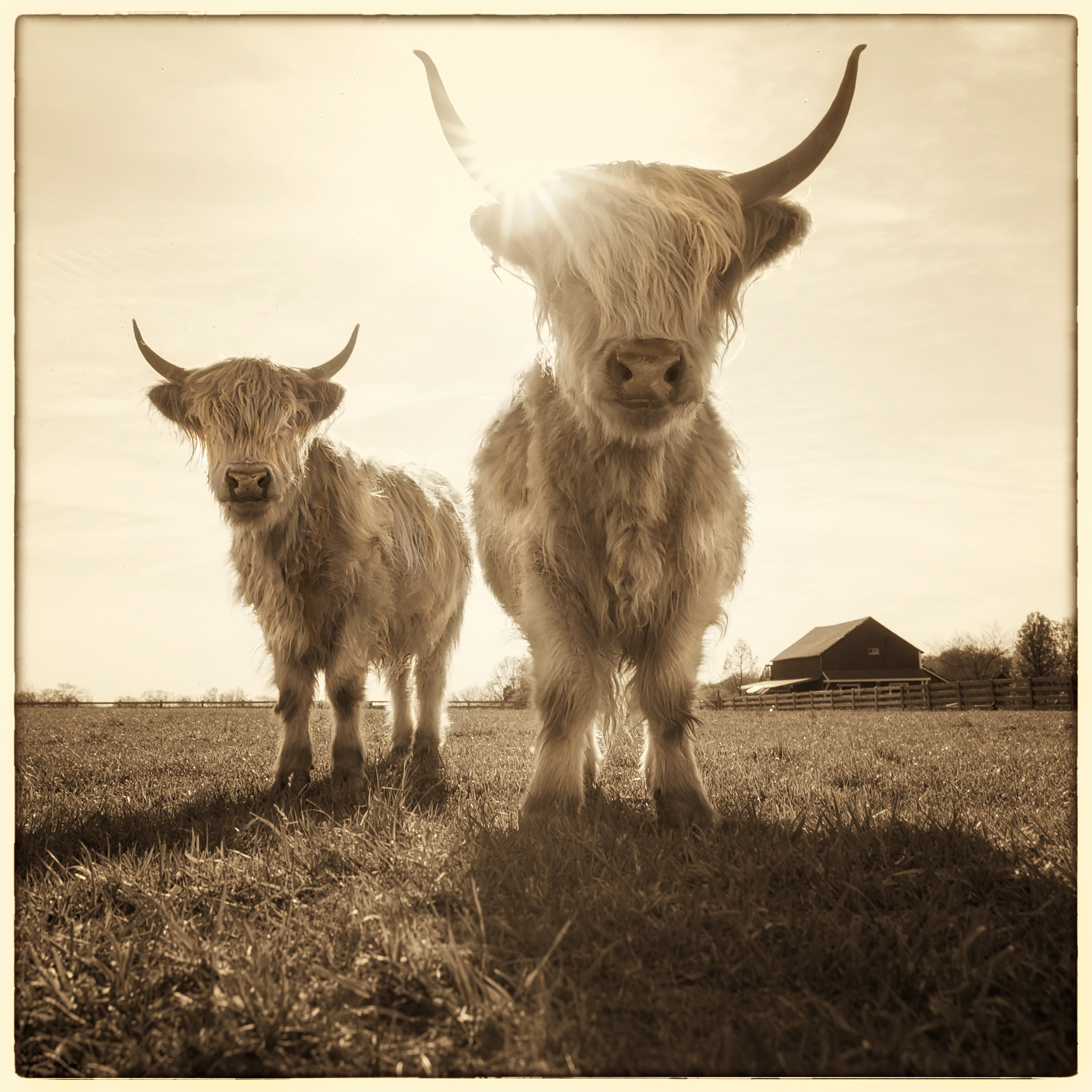 2-Cows-v3.jpg