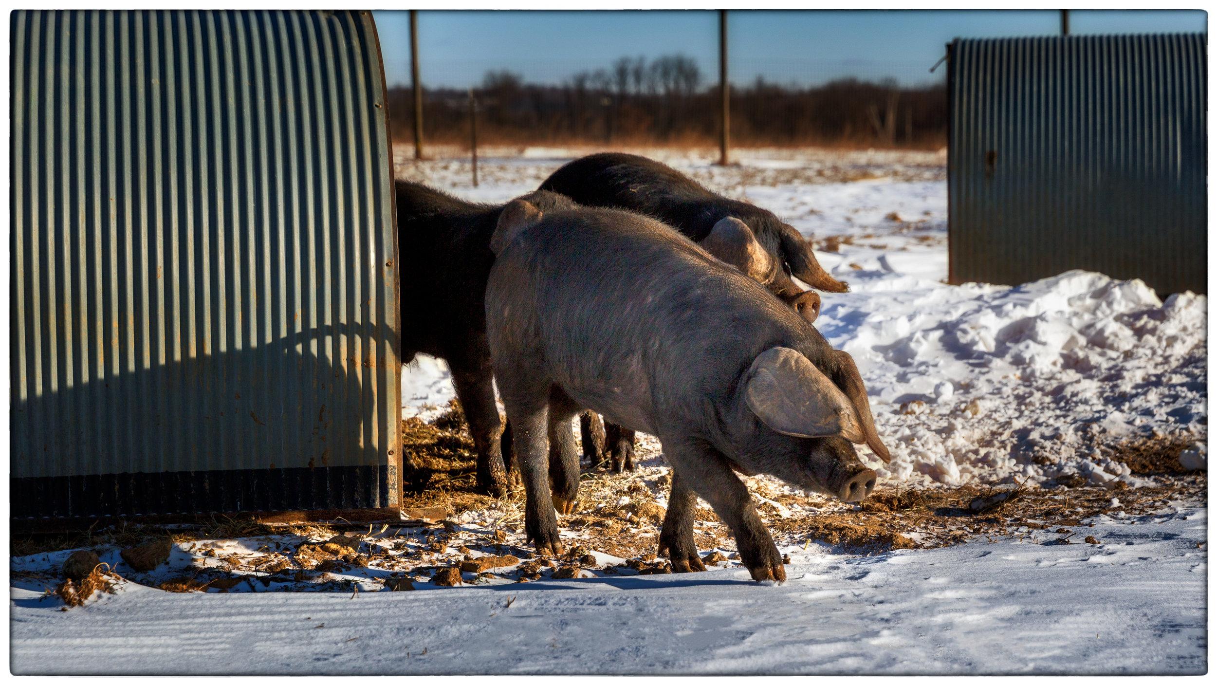 PigsHeadedtoDine2.jpg