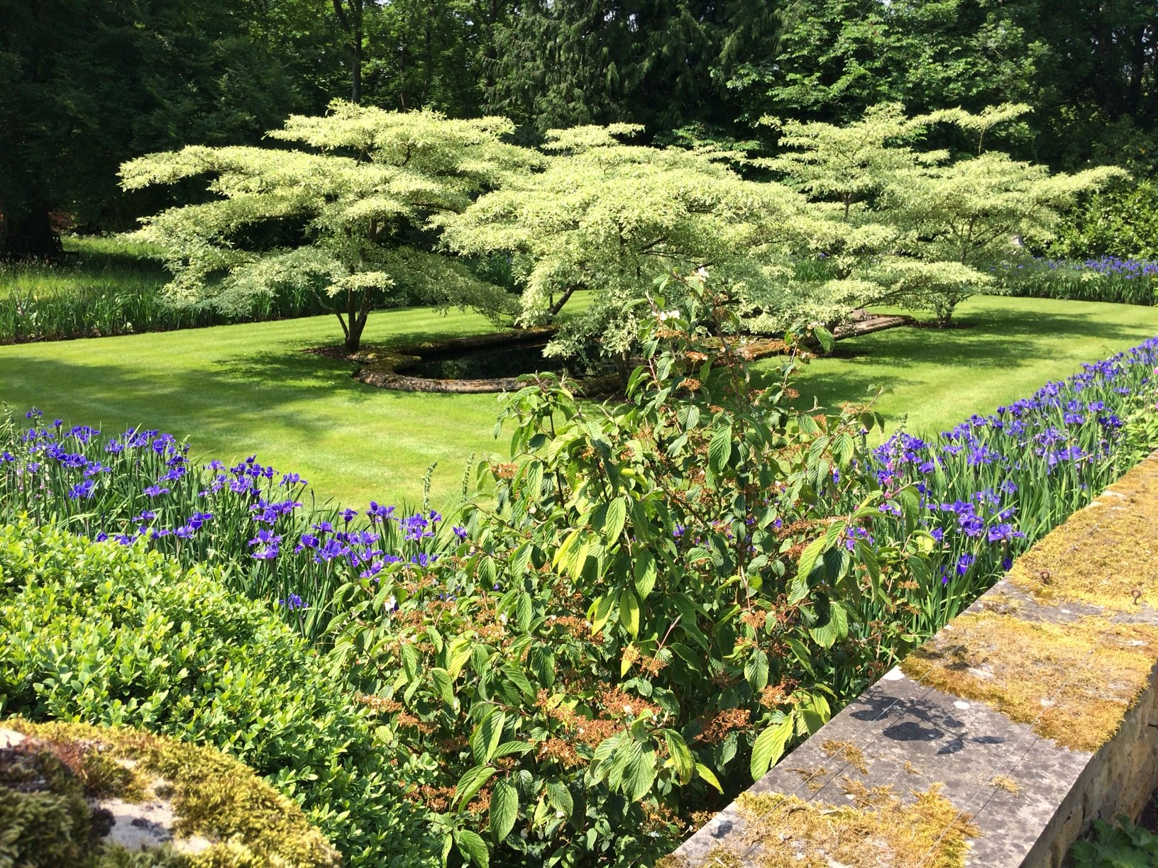 Cornus controversa variegata at Rockliffe