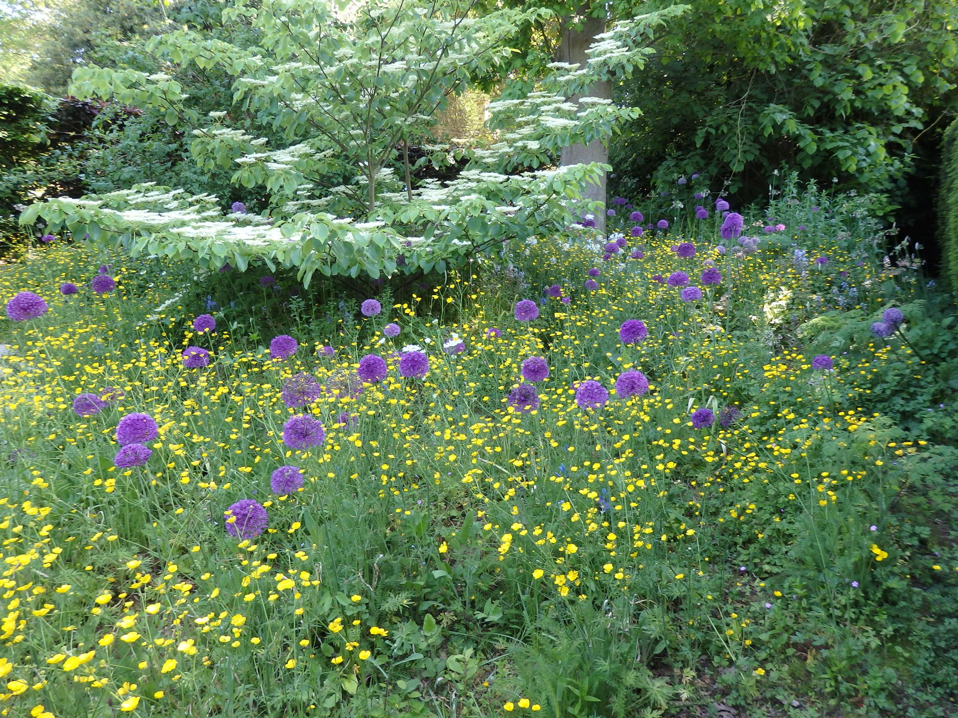 Buttercups and alliums in the wild garden