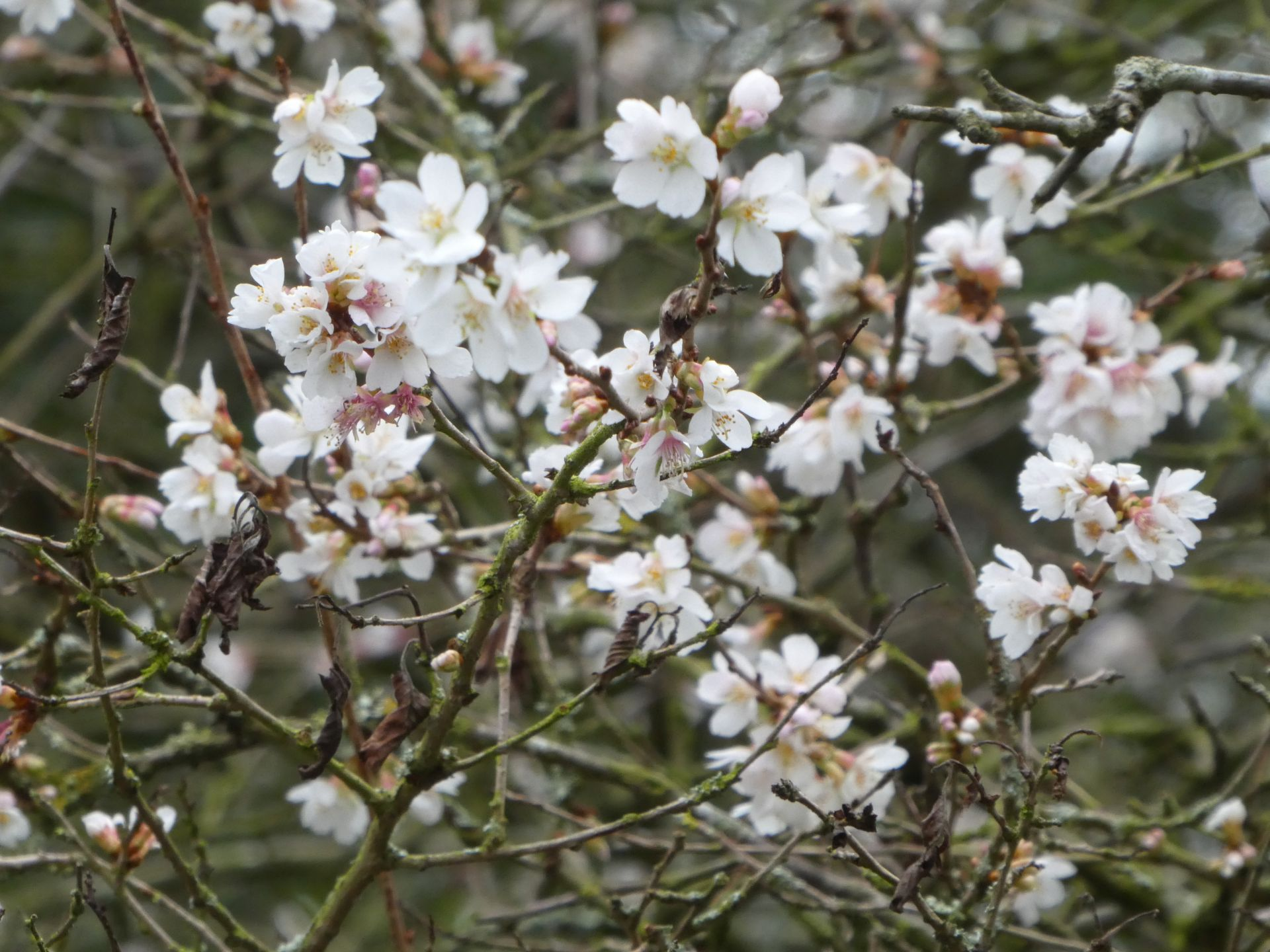Prunus incisa praecox