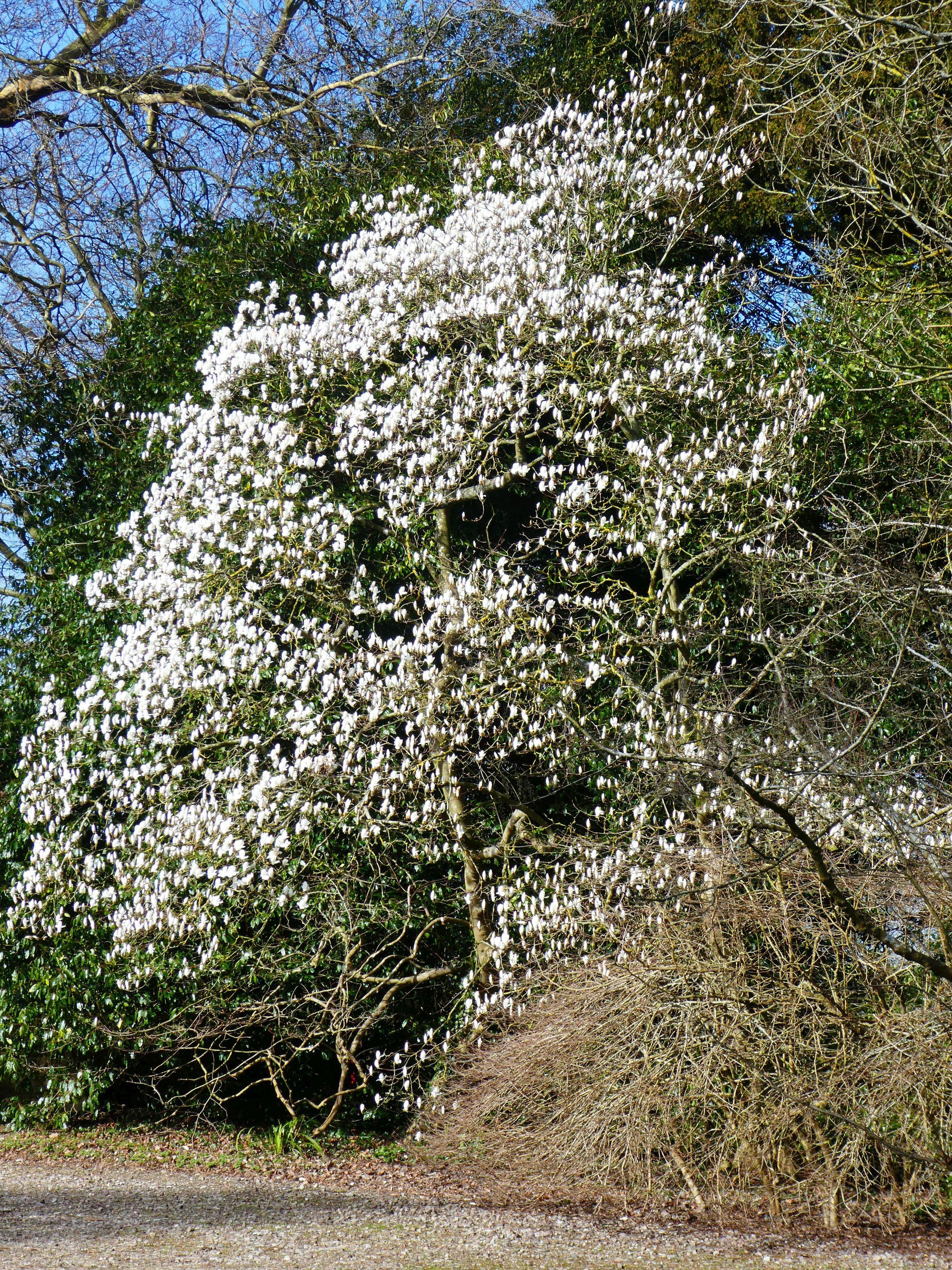Magnolia in the carpark