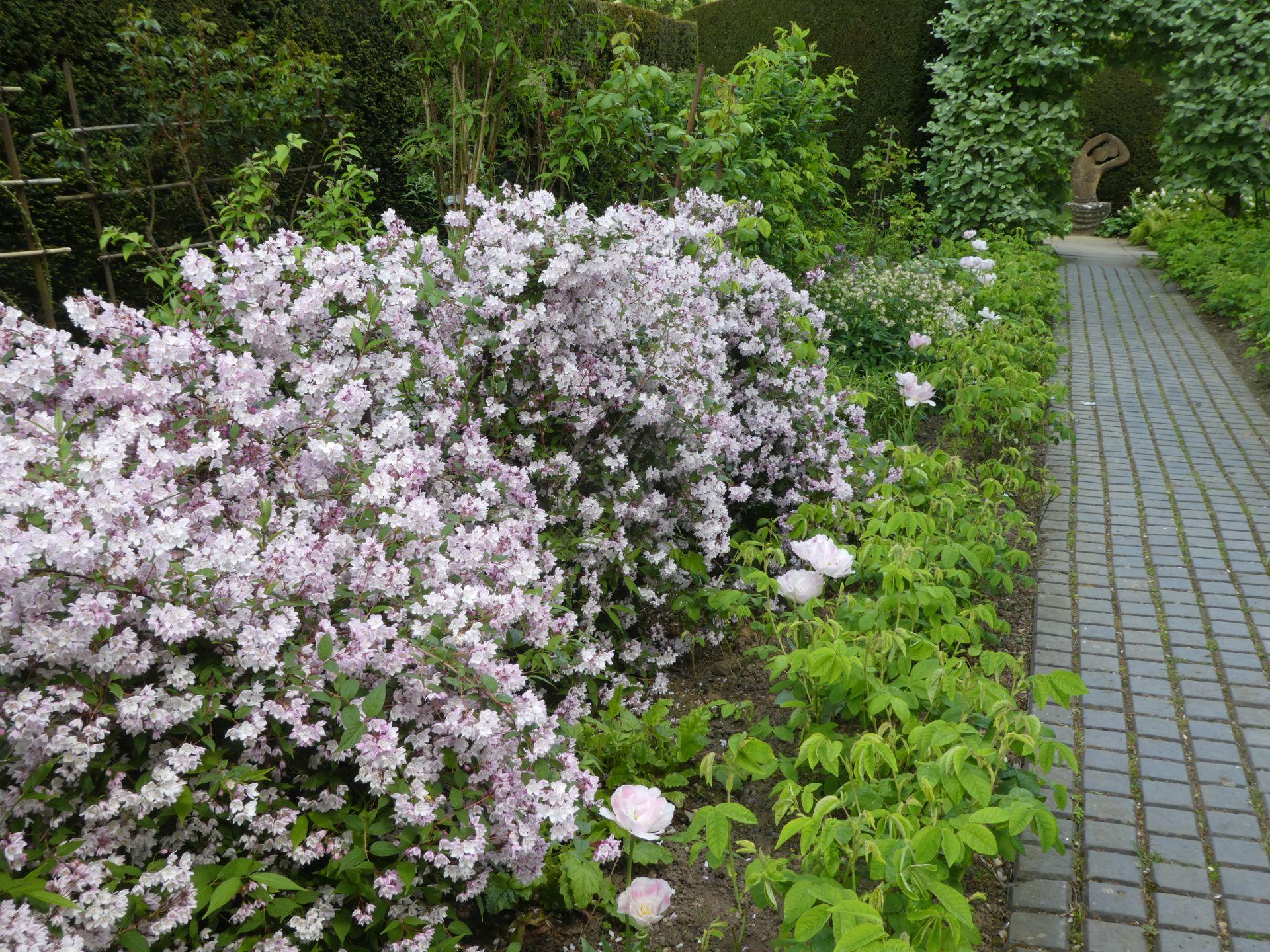 Deutzia x rosea in the Rose Border