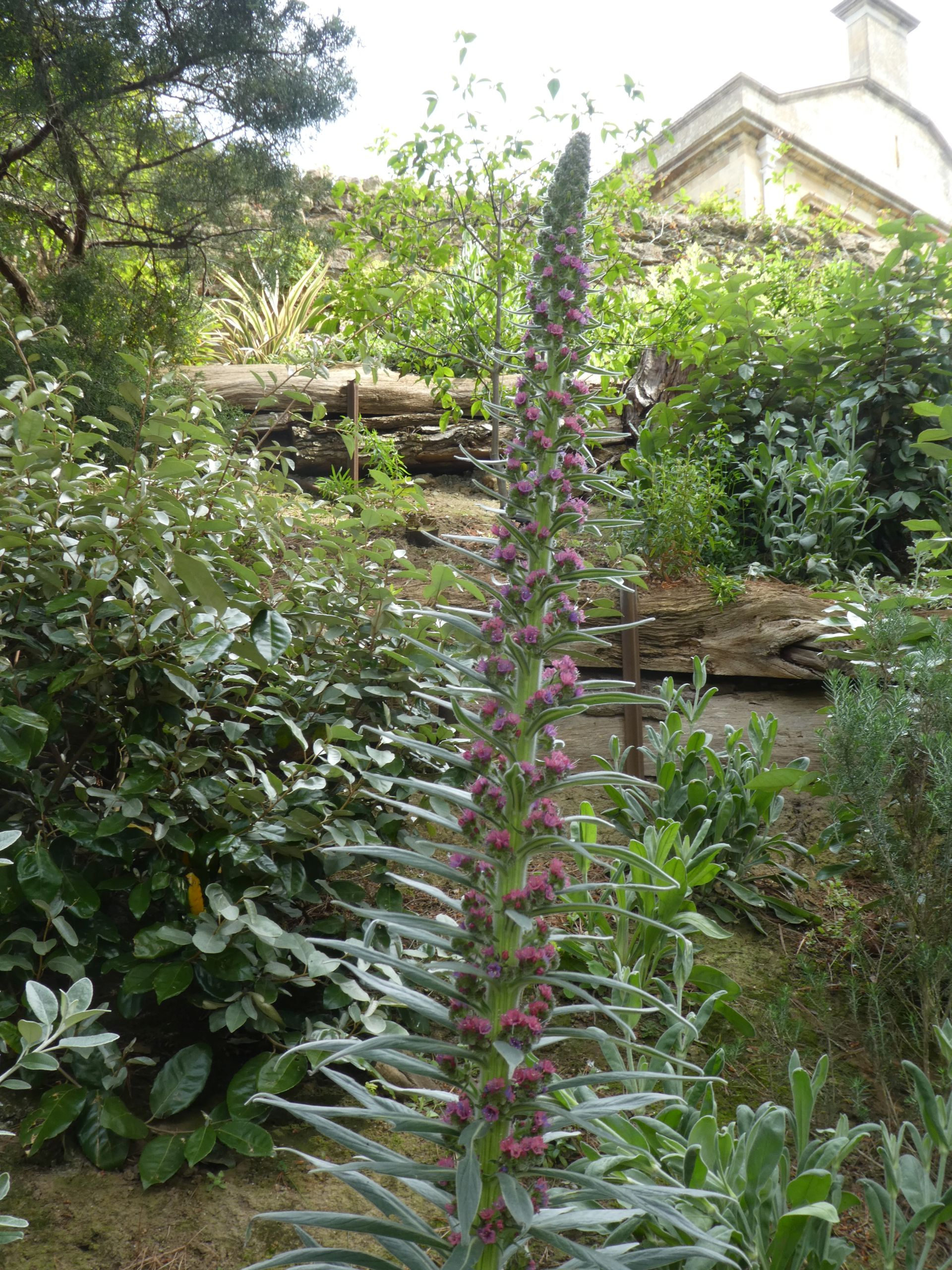 Echium Red Rocket on the banks