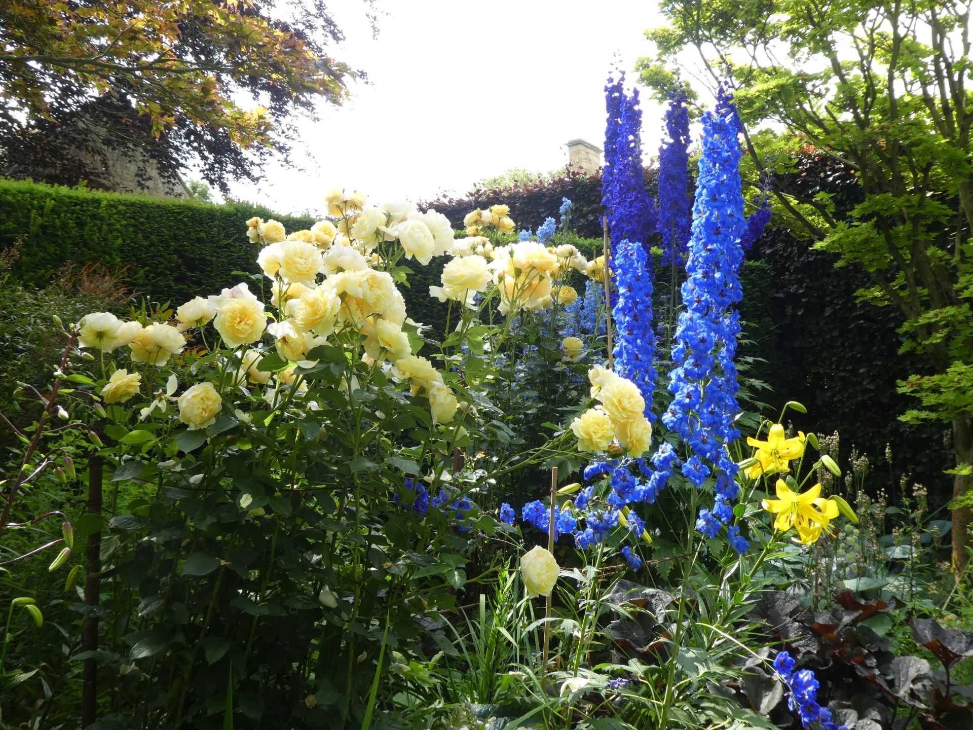Rose Graham Thomas and delphiniums