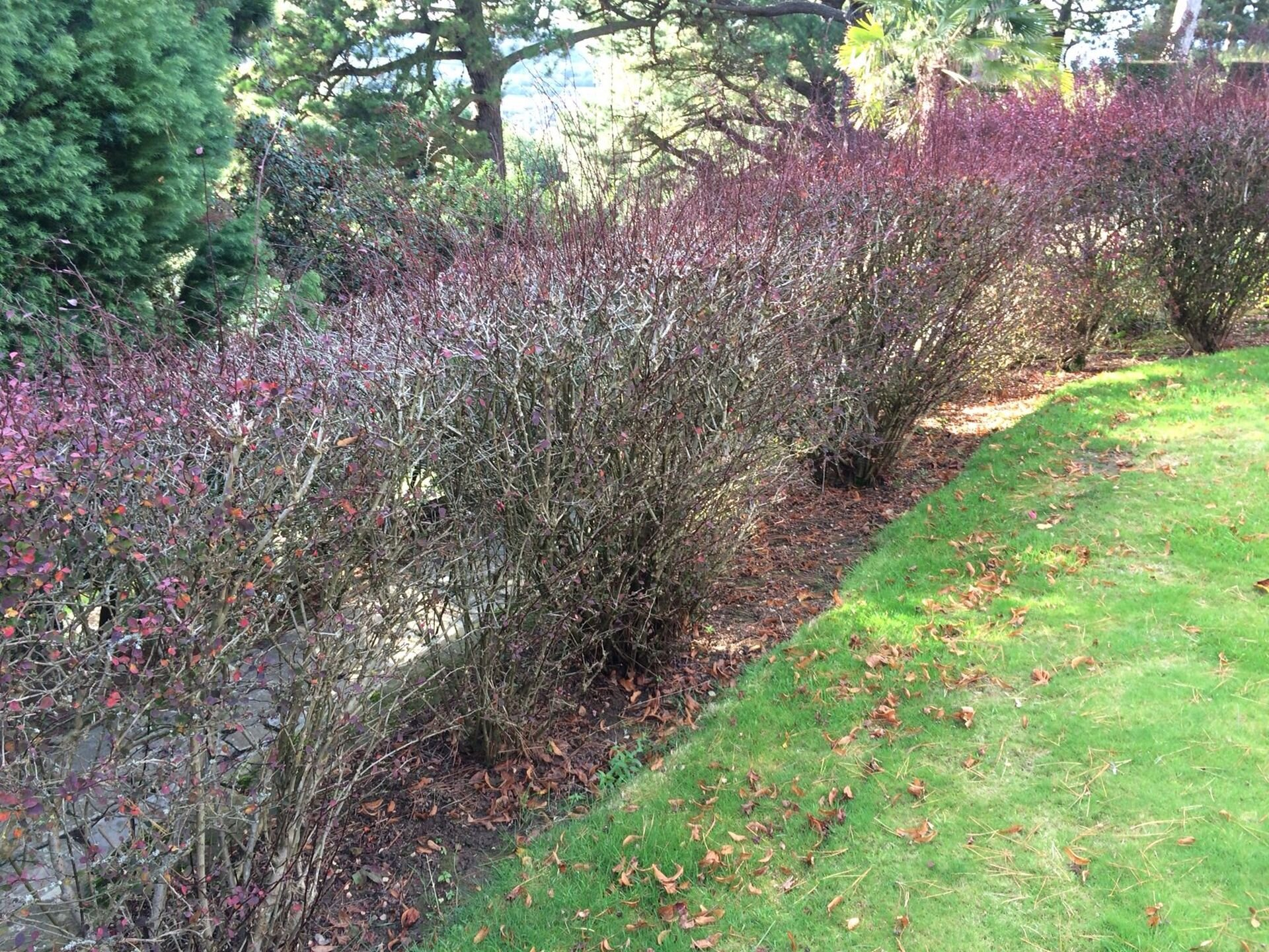 The berberis hedge ,about to go !