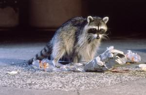 Raccoon as urban trickster. Photo by Michael Durham.