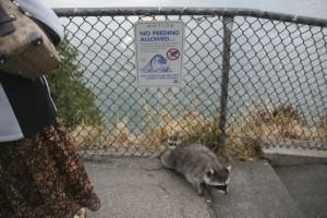 Apparently they don't read the signs. Photo by Bob Sallinger.