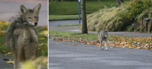 Souvlaki Coyote on the prowl in downtown Portland, Oregon (USA)