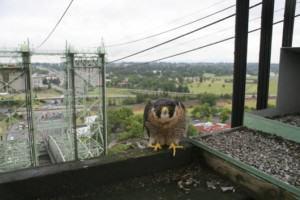 Peregrine nesting on Portland Bridge. Photo by Bob Sallinger.