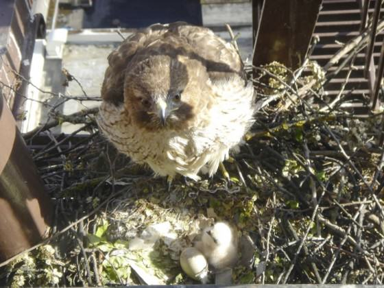 Raptor Cam Red-tail on nest. Photo by Dieter Waiblinger.