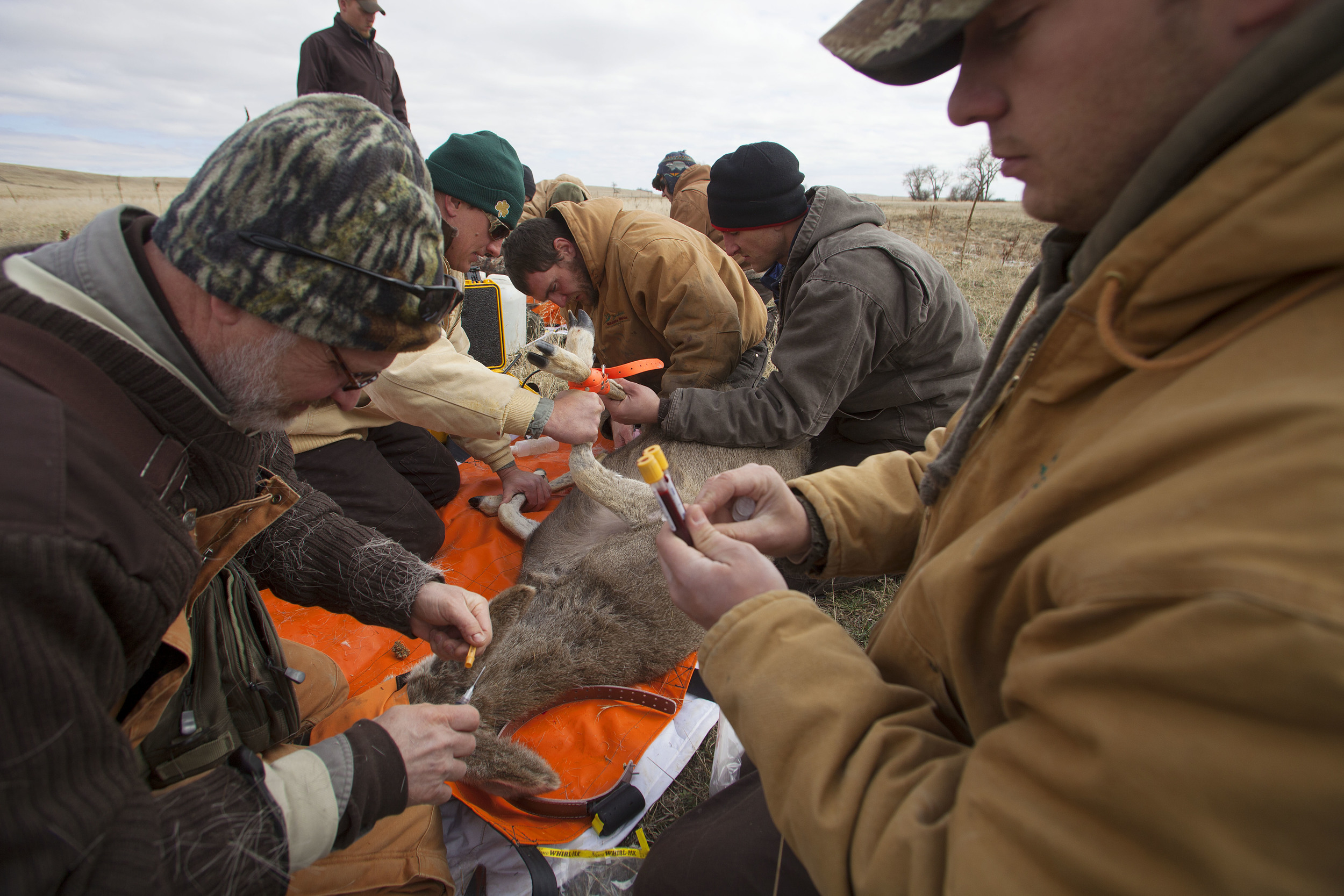 The ground team works quickly to take blood samples, apply radio collars, pregnancy check, and administer antibiotics to the sedated deer.