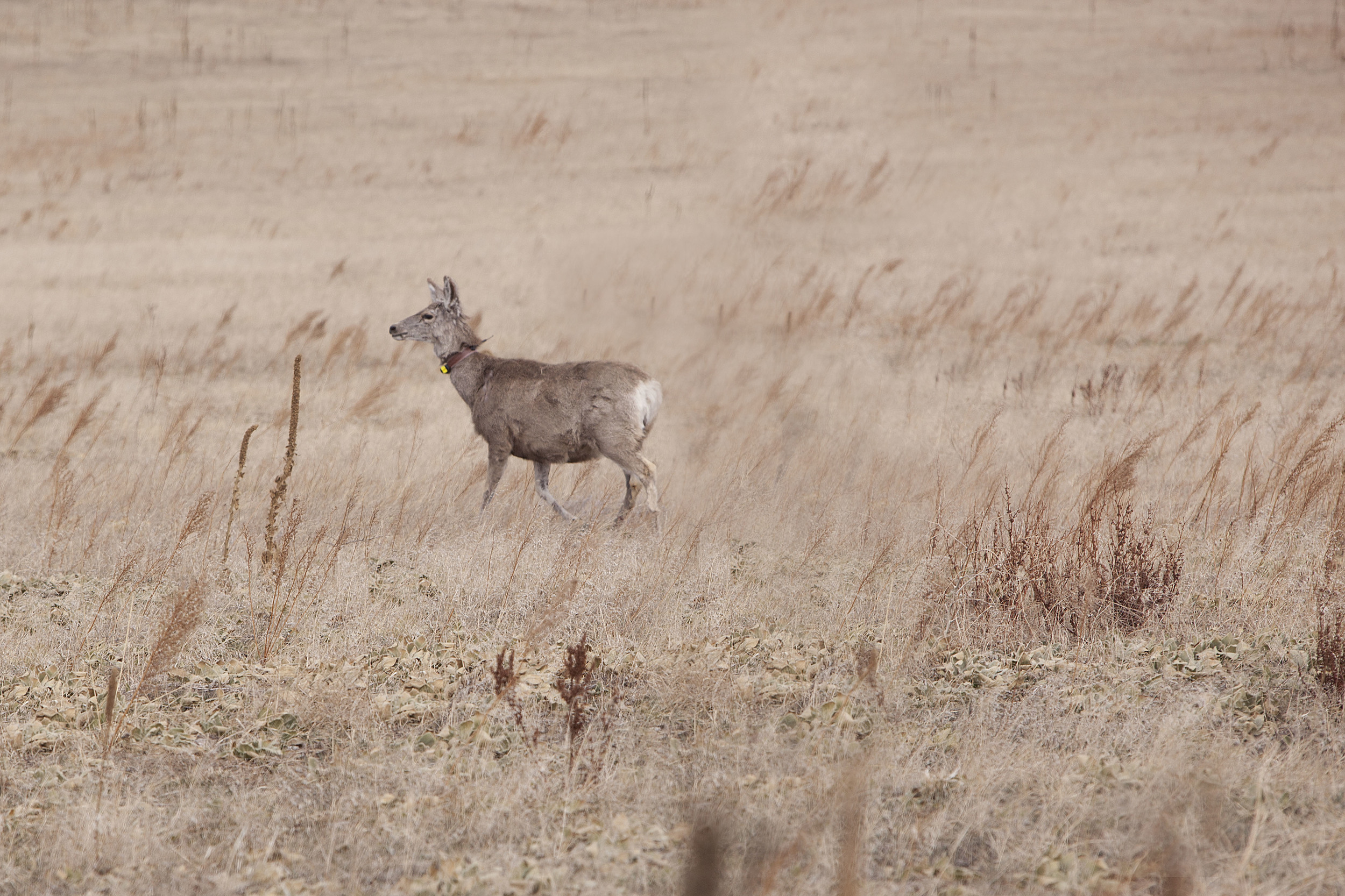 A mule deer fitted with a new radio collar makes her way across the prairie.