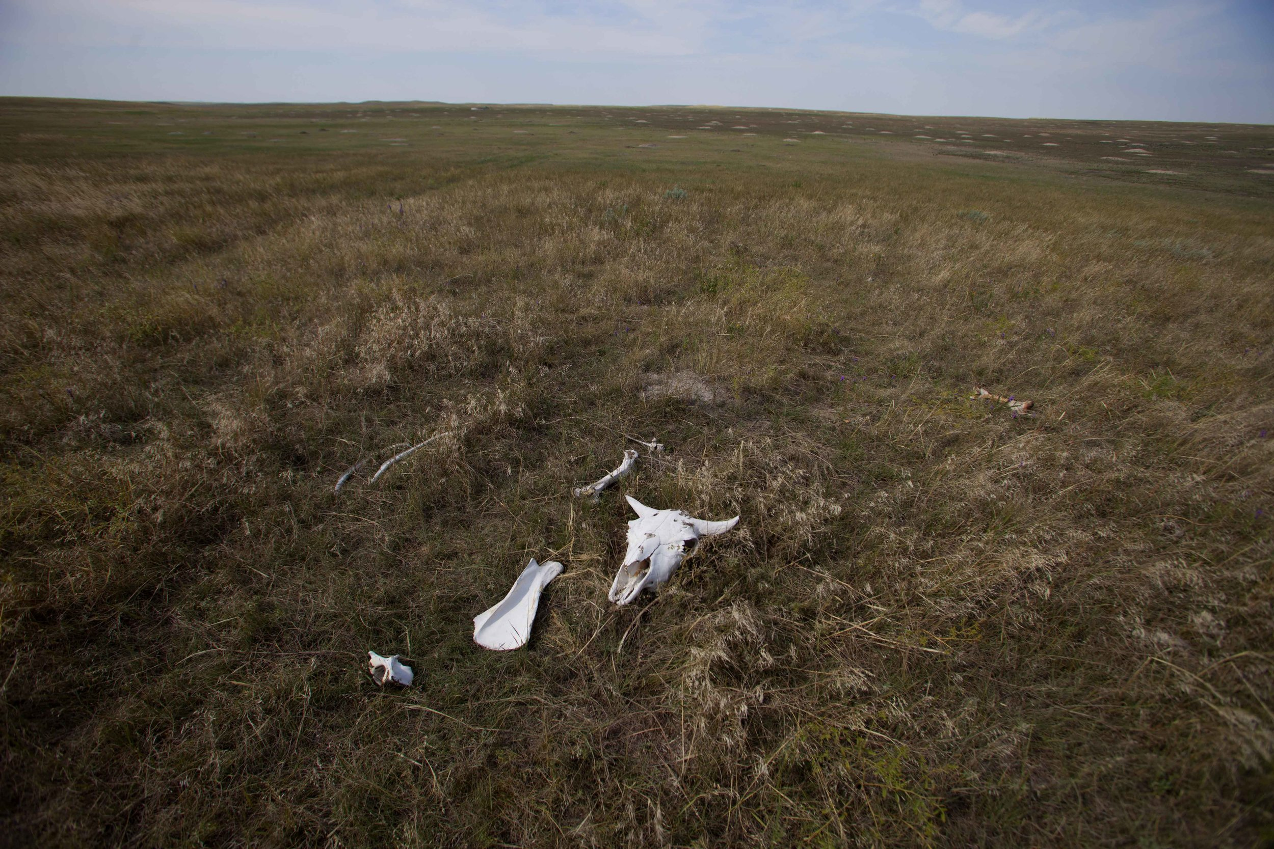 Parts of a buffalo skeleton lay on the prairie at the 777 Bison Ranch in Hermosa, SD. Sections of soil that will be tested for carbon sequestration can be up to and over several hundreds of thousands of years.