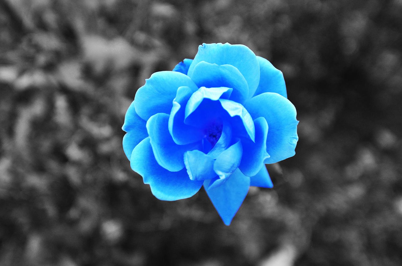 roseblue.jpg