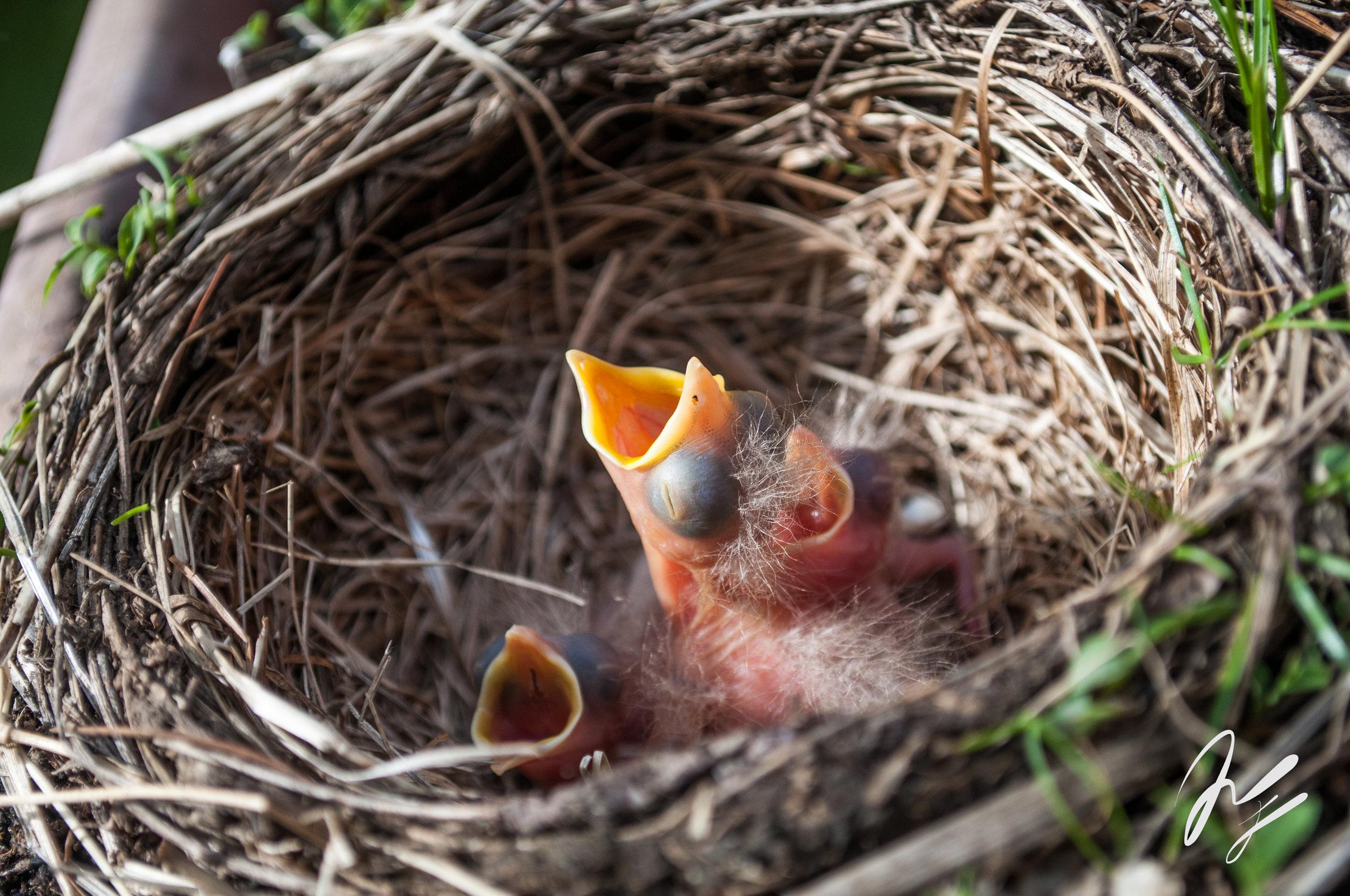 baby birds-1.jpg