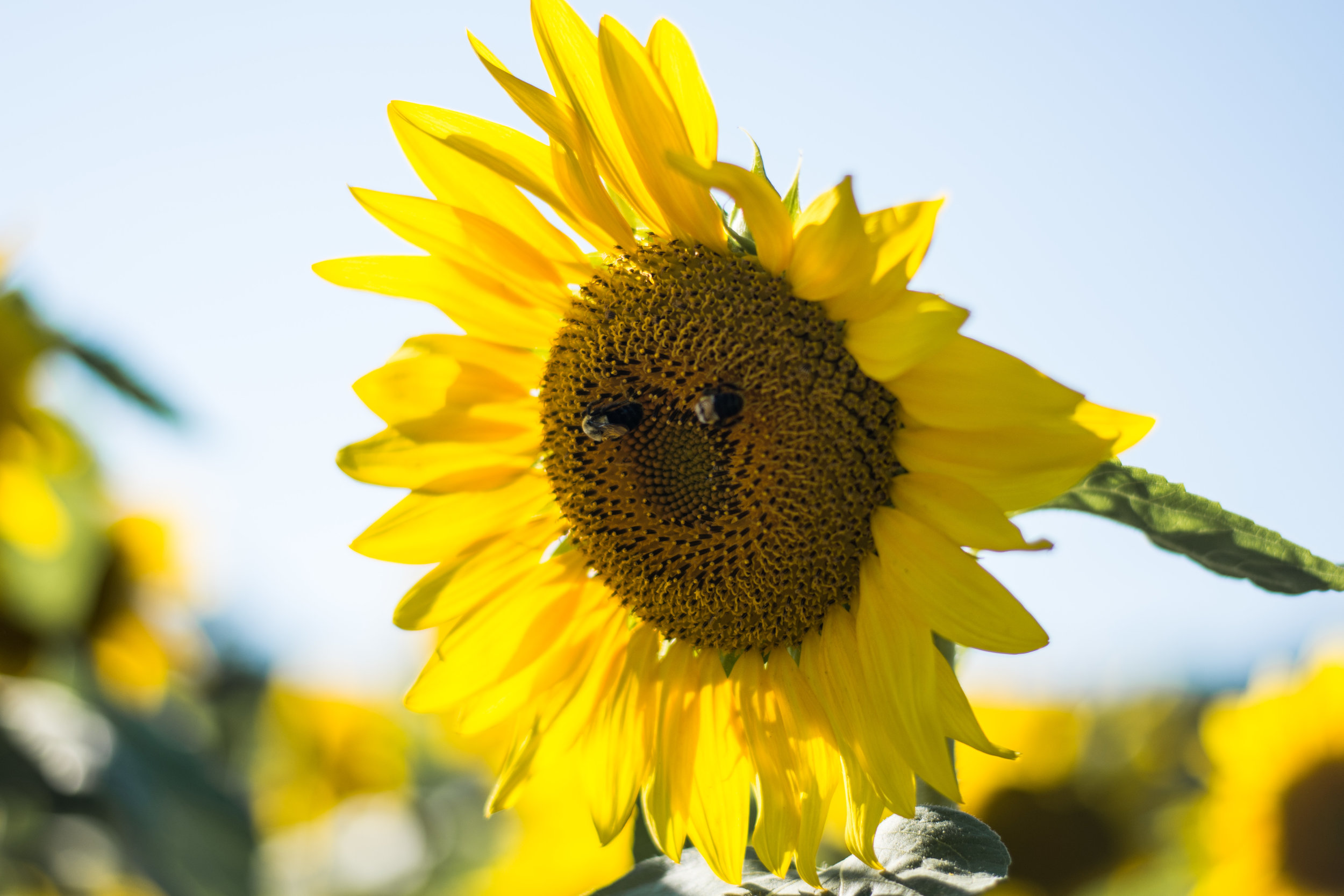 Sunflower-6.jpg