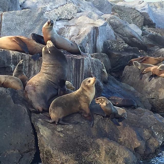 Madison got this great picture of sea lions at the jetty today.  #sealifediscovery #balboafunzone