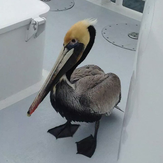 We picked up an additional passenger  midway through our tour today! #BrownPelican #SoCal #NewportBeach #SeaLifeDiscovery #Tours #FunZone