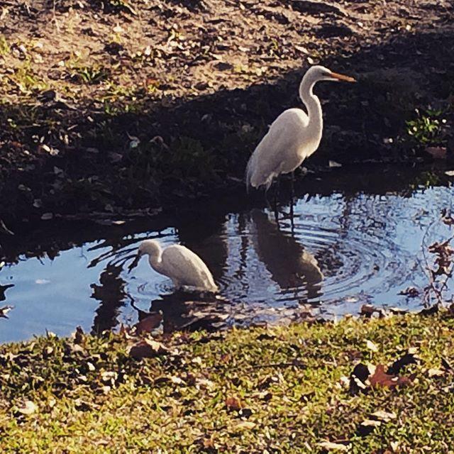 Egrets work a small steam at Yorba Regional Park. @sealifediscovery #shorebirds #sealifediscovery #ocparks