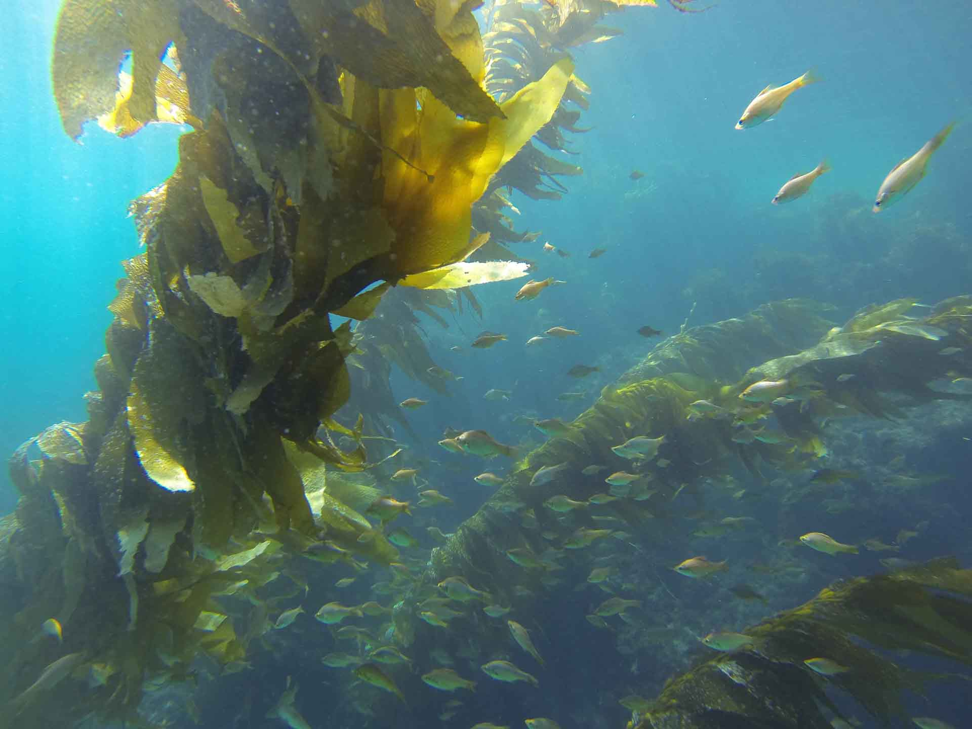Kelp Perch In The Giant Kelp Forest