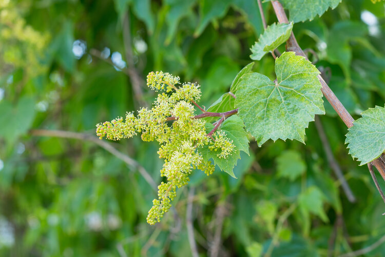 Young inflorescence of grapes on the vine close-up