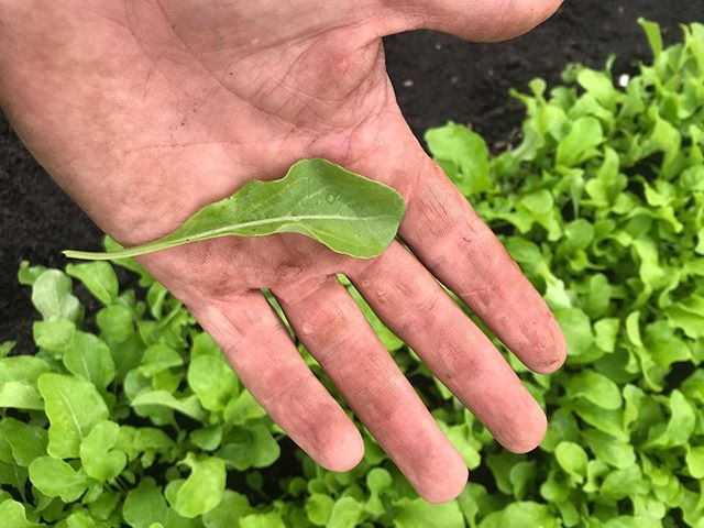This weeks arugula is looking perfect. Should taste wonderful with the chilly weather.