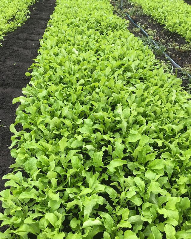 We will have some beautiful greens this weekend at the market. Stop by for this fresh cut of arugula! The cool weather makes them extra tastey