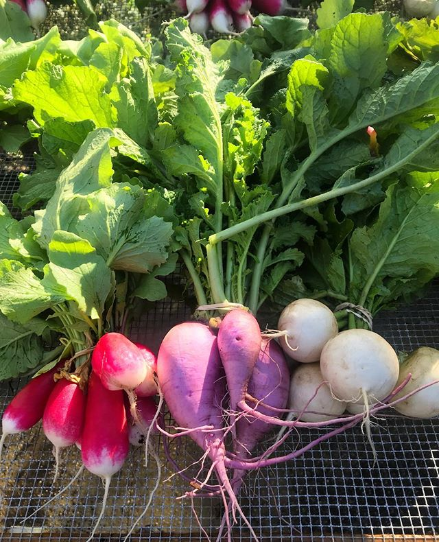 It's a beautiful morning to harvest some root veggies. We will have purple daikon again this weekend and the watermelon radish are coming out of the field now.see you at the markets.