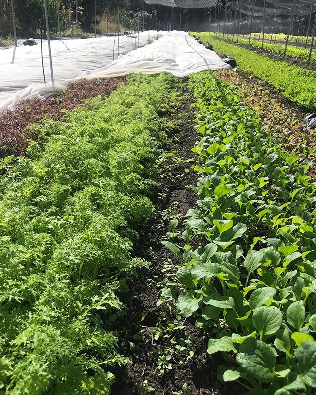 Salad is looking fresh under the insect netting. We will have an abundance of it this weekend!